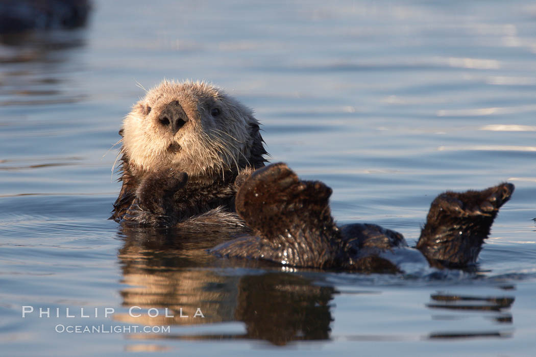 A sea otter resting, holding its paws out of the water to keep them warm and conserve body heat as it floats in cold ocean water. Elkhorn Slough National Estuarine Research Reserve, Moss Landing, California, USA, Enhydra lutris, natural history stock photograph, photo id 21702