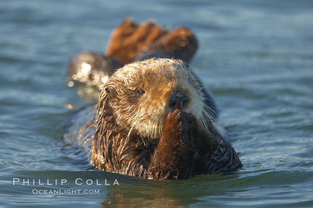 A sea otter resting, holding its paws out of the water to keep them warm and conserve body heat as it floats in cold ocean water. Elkhorn Slough National Estuarine Research Reserve, Moss Landing, California, USA, Enhydra lutris, natural history stock photograph, photo id 21722