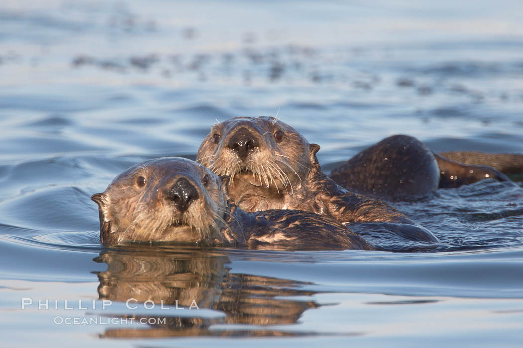 Two sea otters eye the photographer.0. Elkhorn Slough National Estuarine Research Reserve, Moss Landing, California, USA, Enhydra lutris, natural history stock photograph, photo id 21703