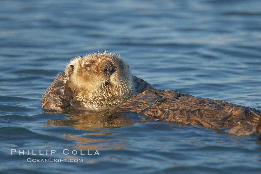 A sea otter, resting and floating on its back, in Elkhorn Slough. Elkhorn Slough National Estuarine Research Reserve, Moss Landing, California, USA, Enhydra lutris, natural history stock photograph, photo id 21721