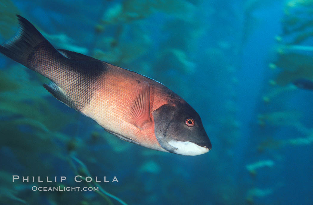 Image 01936, California sheephead, adult male. San Clemente Island, California, USA, Semicossyphus pulcher, Phillip Colla, all rights reserved worldwide. Keywords: animal, california, california sheephead wrasse, channel islands, creature, fish, fish anatomy, male - female difference, marine, marine fish, nature, ocean, oceans, pacific, san clemente island, sea, semicossyphus pulcher, sheep-head wrasse, teleost fish, underwater, usa, wildlife, wrasse.
