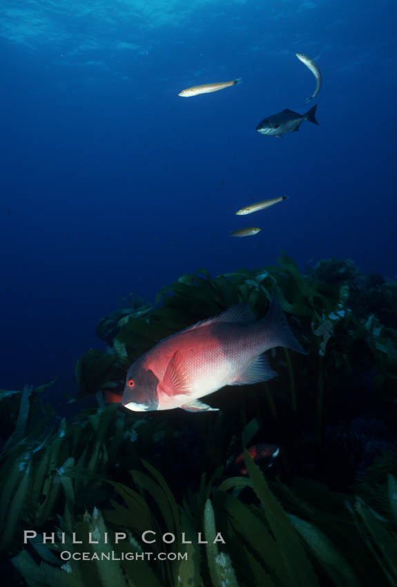 California sheephead, adult male. San Clemente Island, USA, Semicossyphus pulcher, natural history stock photograph, photo id 07072