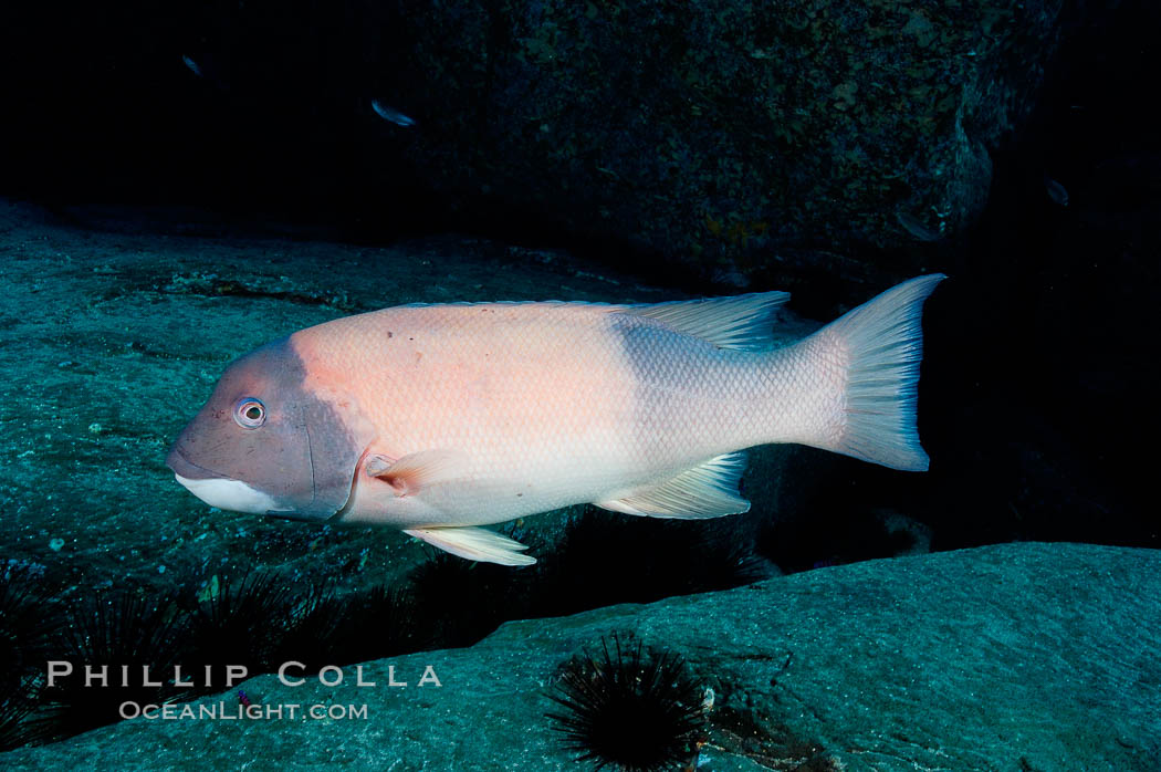 Sheephead wrasse, adult male coloration. Guadalupe Island (Isla Guadalupe), Baja California, Mexico, Semicossyphus pulcher, natural history stock photograph, photo id 09627