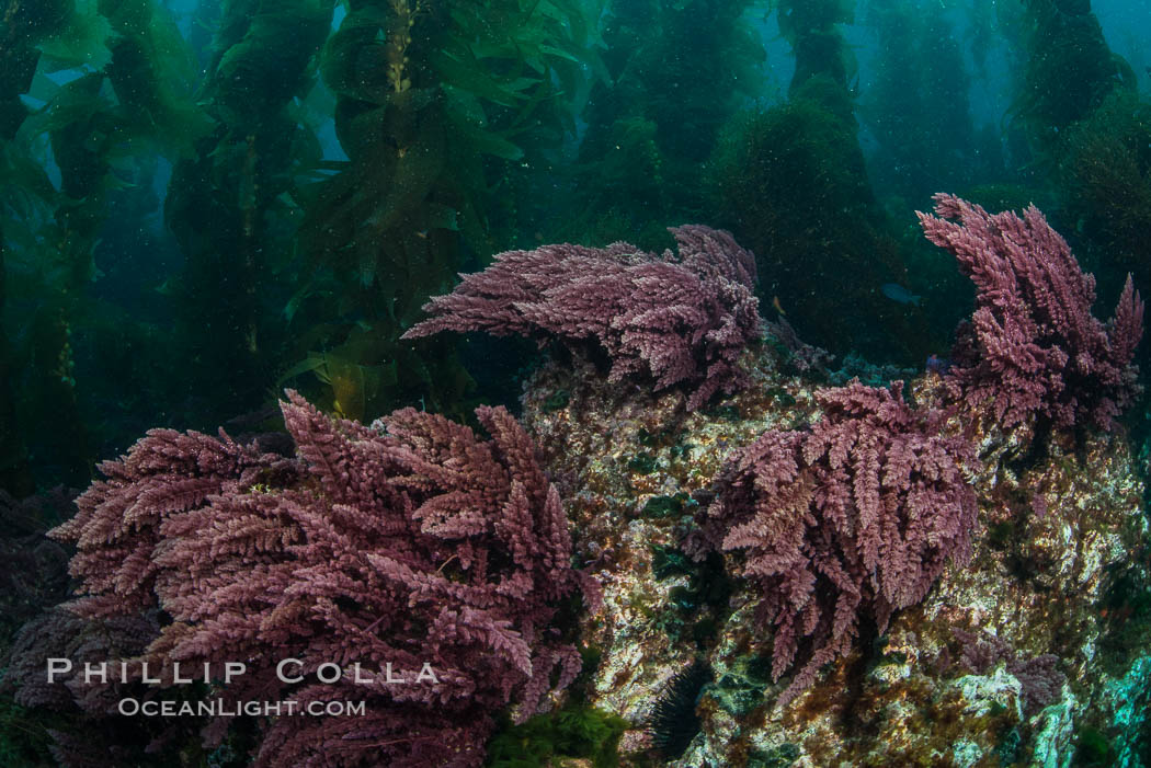 Asparagopsis taxiformis, red marine algae, growing on underwater rocky reef below kelp forest at San Clemente Island. California, USA, Asparagopsis taxiformis, natural history stock photograph, photo id 30938