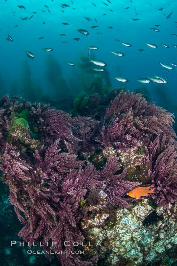 Asparagopsis taxiformis, red marine algae, growing on underwater rocky reef below kelp forest at San Clemente Island. San Clemente Island, California, USA, Asparagopsis taxiformis, natural history stock photograph, photo id 30933