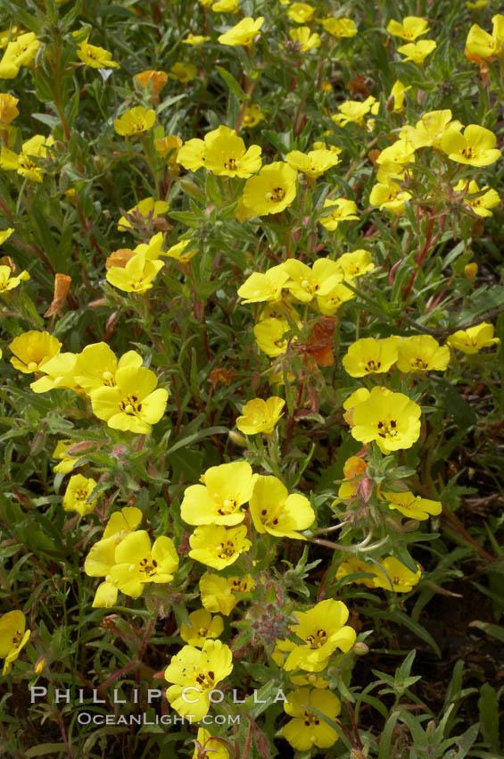 California sun cup blooms in spring, Batiquitos Lagoon, Carlsbad. Batiquitos Lagoon, Carlsbad, California, USA, Cammisonia bistorta, natural history stock photograph, photo id 11350