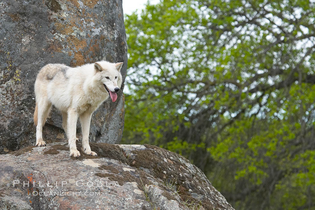 Gray wolf, Sierra Nevada foothills, Mariposa, California., Canis lupus, natural history stock photograph, photo id 16046