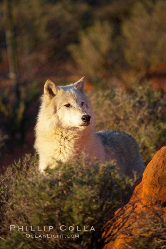 Gray wolf., Canis lupus, natural history stock photograph, photo id 12415