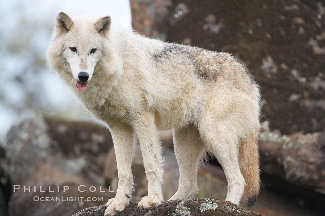Gray wolf, Sierra Nevada foothills, Mariposa, California., Canis lupus, natural history stock photograph, photo id 16043