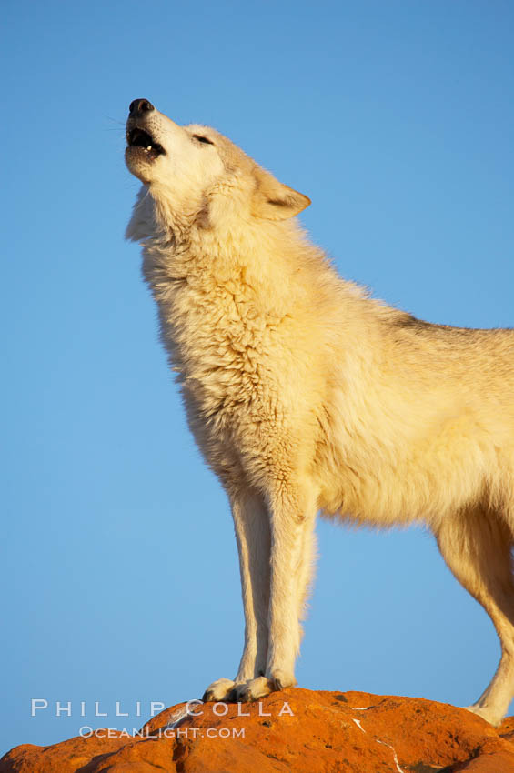 Gray wolf howling., Canis lupus, natural history stock photograph, photo id 12397