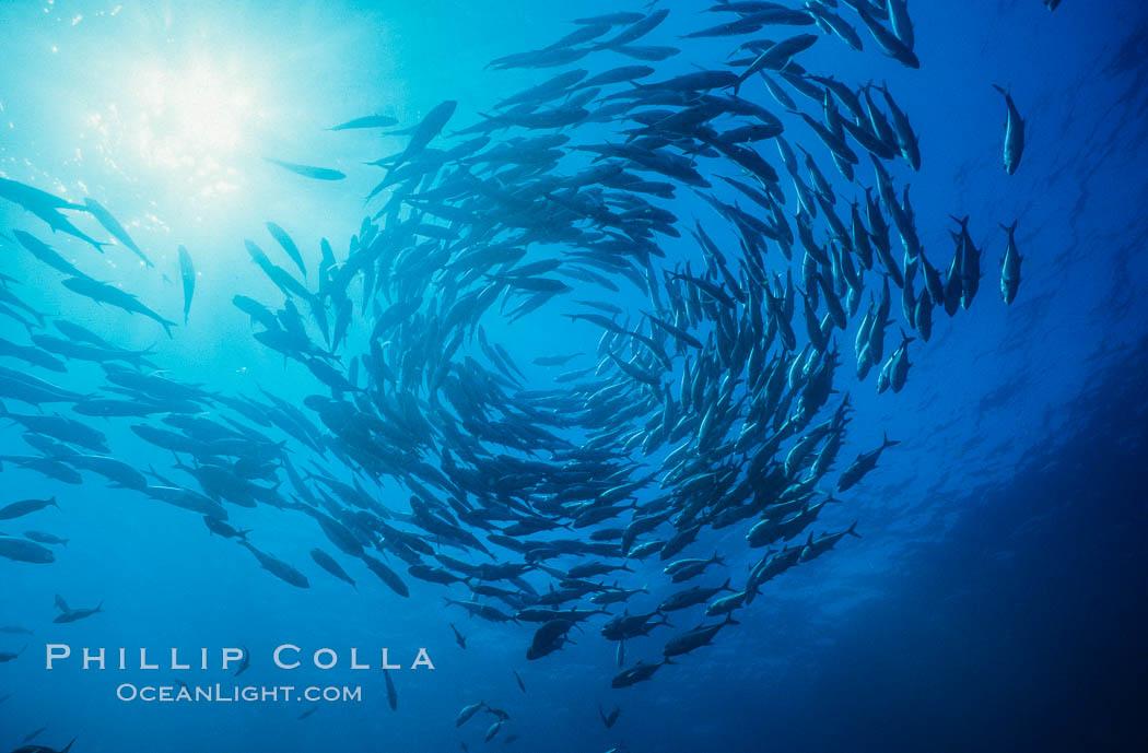 Jacks schooling. Cocos Island, Costa Rica, Caranx sexfasciatus, natural history stock photograph, photo id 05282