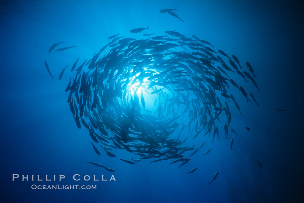 Schooling fish, circling jacks, Las Animas, Sea of Cortez, Baja California., Caranx sexfasciatus, natural history stock photograph, photo id 00249