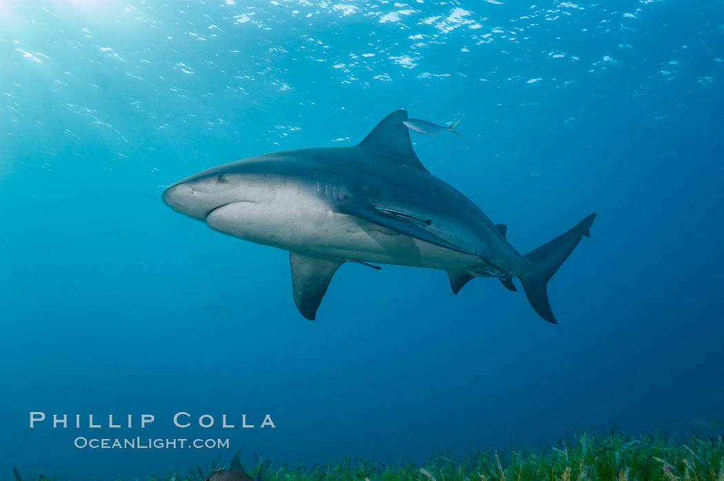 Bull shark. Great Isaac Island, Bahamas, Carcharhinus leucas, natural history stock photograph, photo id 12726