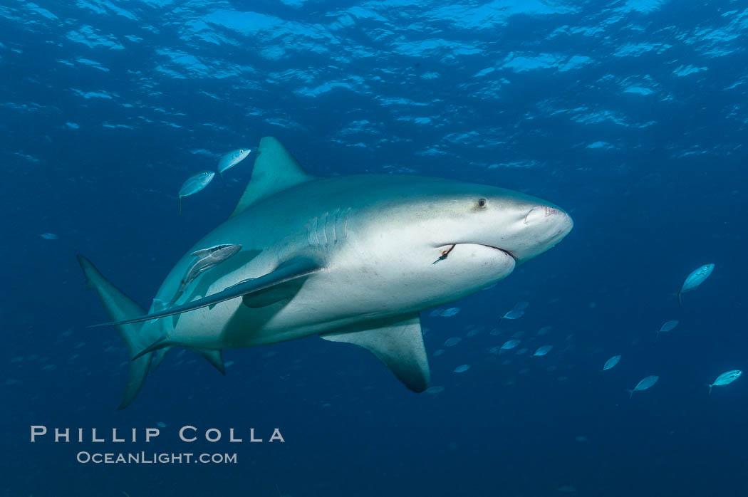 Bull shark. Great Isaac Island, Bahamas, Carcharhinus leucas, natural history stock photograph, photo id 12717