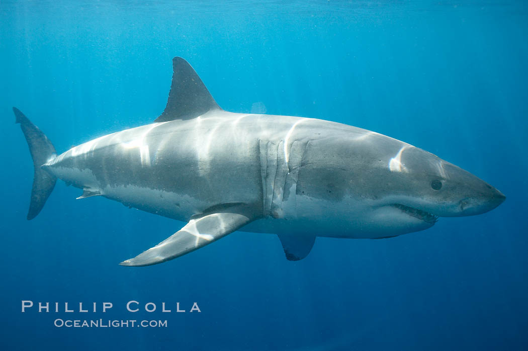 A great white shark is countershaded, with a dark gray dorsal color and light gray to white underside, making it more difficult for the shark's prey to see it as approaches from above or below in the water column.  The particular undulations of the countershading line along its side, where gray meets white, is unique to each shark and helps researchers to identify individual sharks in capture-recapture studies. Guadalupe Island is host to a relatively large population of great white sharks who, through a history of video and photographs showing their  countershading lines, are the subject of an ongoing study of shark behaviour, migration and population size. Guadalupe Island (Isla Guadalupe), Baja California, Mexico, Carcharodon carcharias, natural history stock photograph, photo id 19467