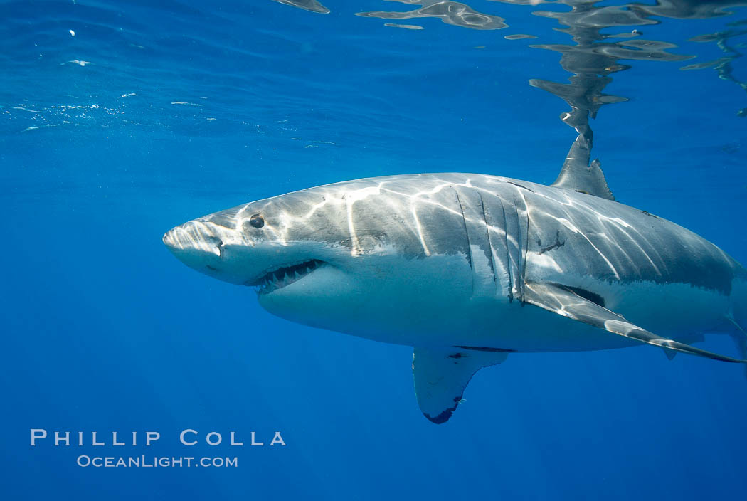 A great white shark is countershaded, with a dark gray dorsal color and light gray to white underside, making it more difficult for the shark's prey to see it as approaches from above or below in the water column.  The particular undulations of the countershading line along its side, where gray meets white, is unique to each shark and helps researchers to identify individual sharks in capture-recapture studies. Guadalupe Island is host to a relatively large population of great white sharks who, through a history of video and photographs showing their  countershading lines, are the subject of an ongoing study of shark behaviour, migration and population size. Guadalupe Island (Isla Guadalupe), Baja California, Mexico, Carcharodon carcharias, natural history stock photograph, photo id 19471