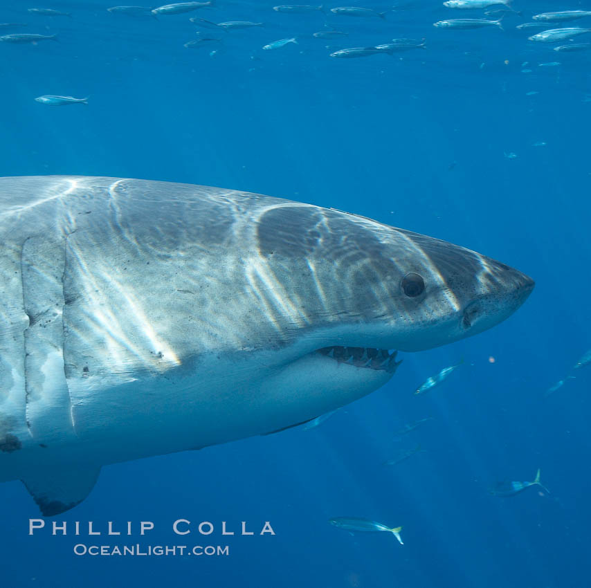 Great white shark. Guadalupe Island (Isla Guadalupe), Baja California, Mexico, Carcharodon carcharias, natural history stock photograph, photo id 20943