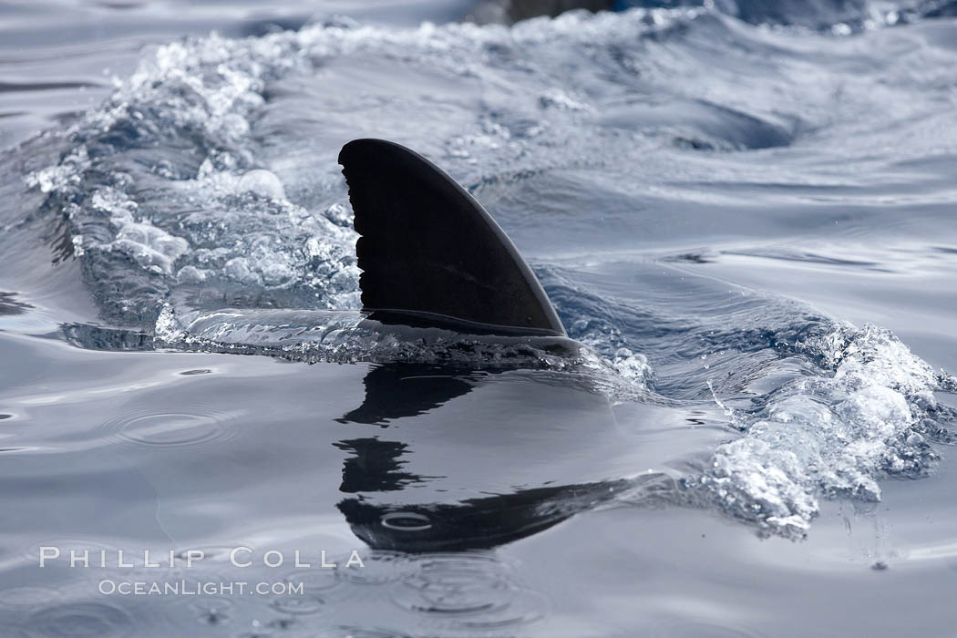 Great white shark, dorsal fin extended out of the water as it swims near the surface. Guadalupe Island (Isla Guadalupe), Baja California, Mexico, Carcharodon carcharias, natural history stock photograph, photo id 21401