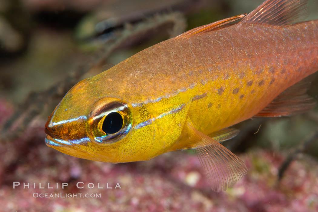 Cardinalfish, Fiji, Namena Marine Reserve, Namena Island