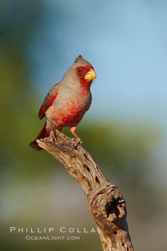 Pyrrhuloxia, male. Amado, Arizona, USA, Cardinalis sinuatus, natural history stock photograph, photo id 23017