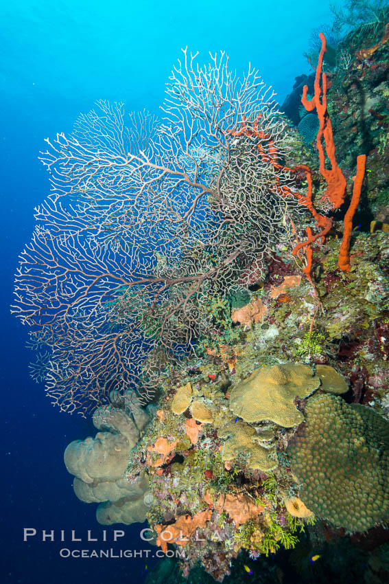Beautiful Caribbean coral reef, sponges and hard corals, Grand Cayman Island. Cayman Islands, natural history stock photograph, photo id 32198