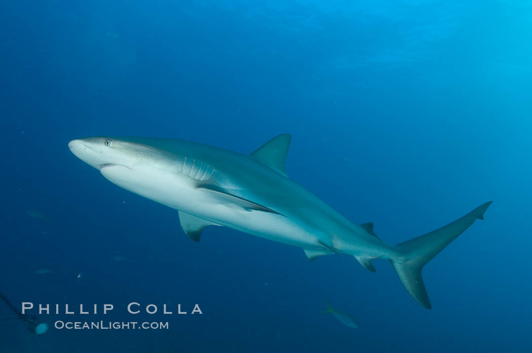 Caribbean reef shark. Bahamas, Carcharhinus perezi, natural history stock photograph, photo id 10626