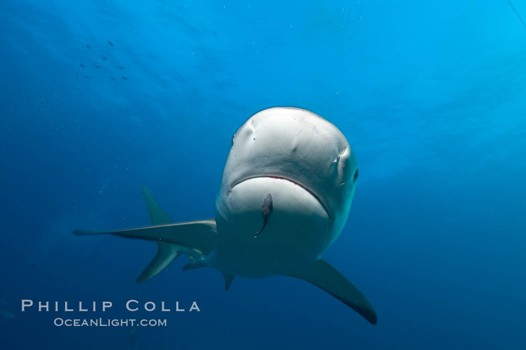 Caribbean reef shark with small sharksucker visible on underside. Bahamas, Carcharhinus perezi, Echeneis naucrates, natural history stock photograph, photo id 10628