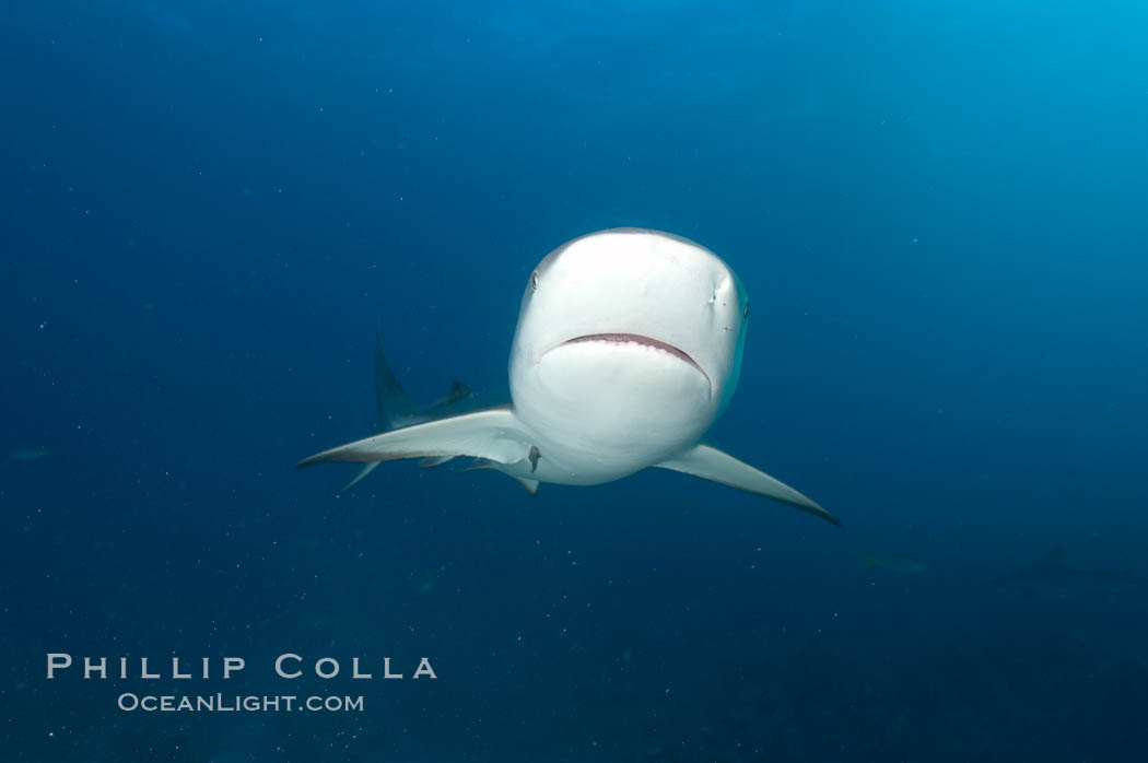 Caribbean reef shark. Bahamas, Carcharhinus perezi, natural history stock photograph, photo id 10631