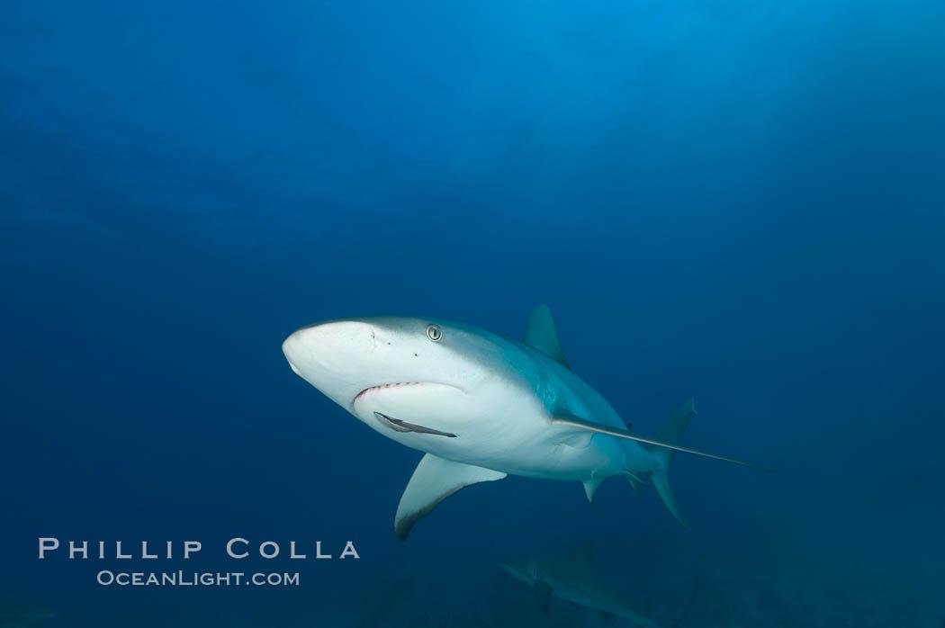 Caribbean reef shark with small sharksucker visible on underside. Bahamas, Carcharhinus perezi, Echeneis naucrates, natural history stock photograph, photo id 10554