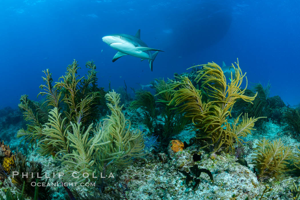 Caribbean reef shark swims over coral reef. Bahamas, Carcharhinus perezi, natural history stock photograph, photo id 32006