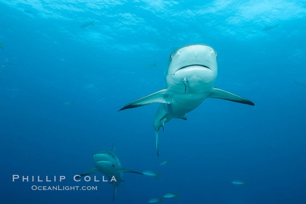 Caribbean reef shark. Bahamas, Carcharhinus perezi, natural history stock photograph, photo id 32010
