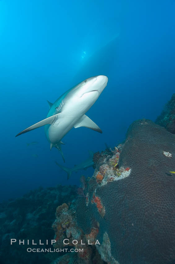 Caribbean reef shark swims over a coral reef. Bahamas, Carcharhinus perezi, natural history stock photograph, photo id 10552