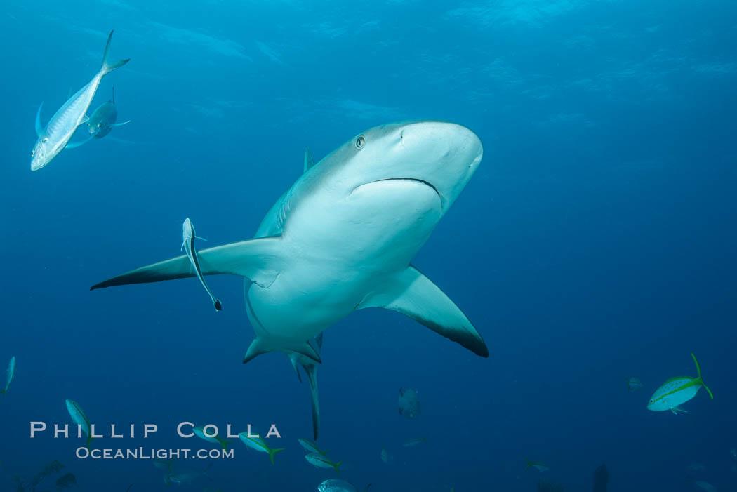 Caribbean reef shark. Bahamas, Carcharhinus perezi, natural history stock photograph, photo id 32000