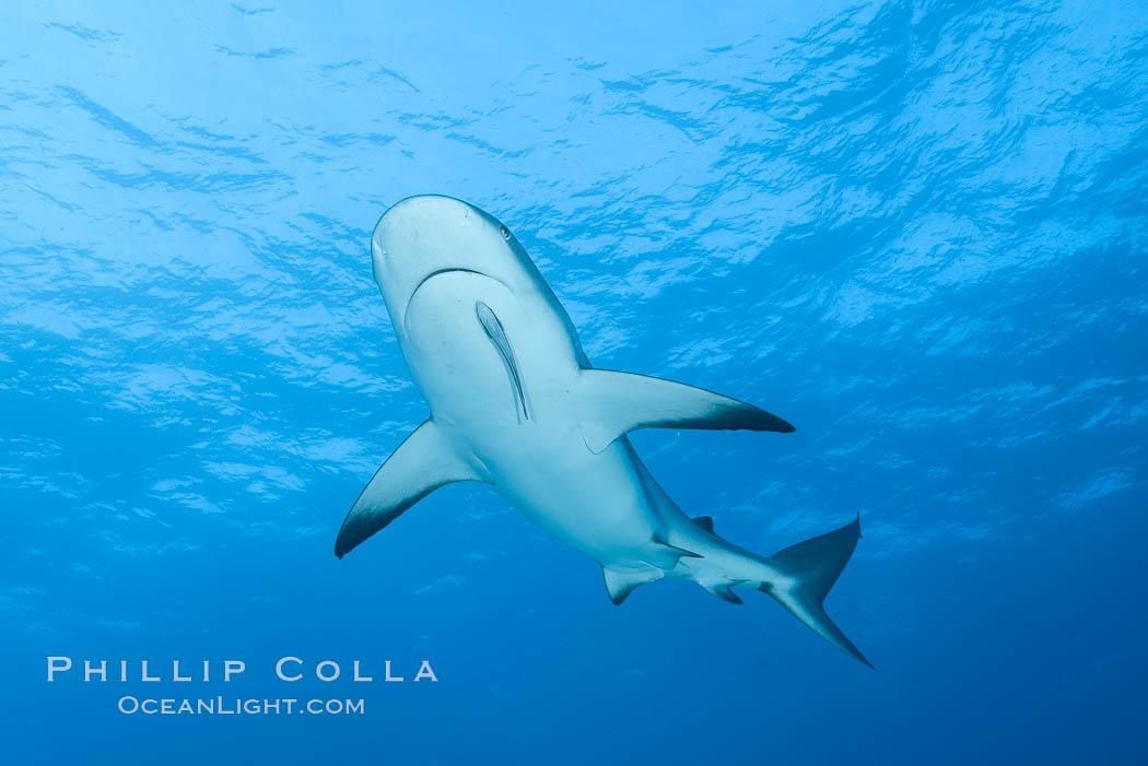 Caribbean reef shark. Bahamas, Carcharhinus perezi, natural history stock photograph, photo id 32004