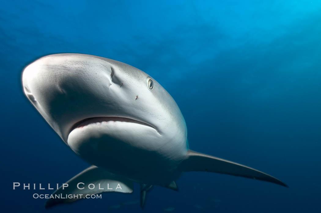 Image 10551, Caribbean reef shark, ampullae of Lorenzini visible on snout. Bahamas, Carcharhinus perezi, Phillip Colla, all rights reserved worldwide. Keywords: ampullae of lorenzini, animal, atlantic, bahamas, carcharhinus perezi, caribbean reef shark, chondrichthyes, creature, danger, elasmobranch, elasmobranchii, fear, grey reef shark, jaws, nature, ocean, oceans, outdoors, outside, predator, risk, sea, shark, shark anatomy, submarine, underwater, wildlife.