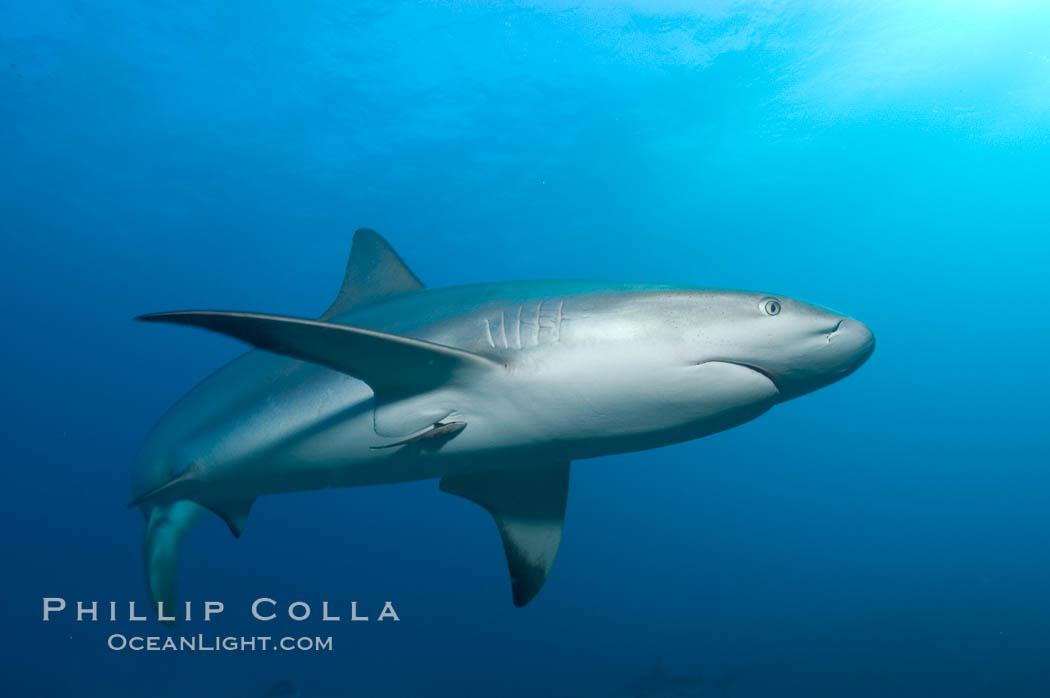 Caribbean reef shark with small sharksucker visible on underside. Bahamas, Carcharhinus perezi, Echeneis naucrates, natural history stock photograph, photo id 10583