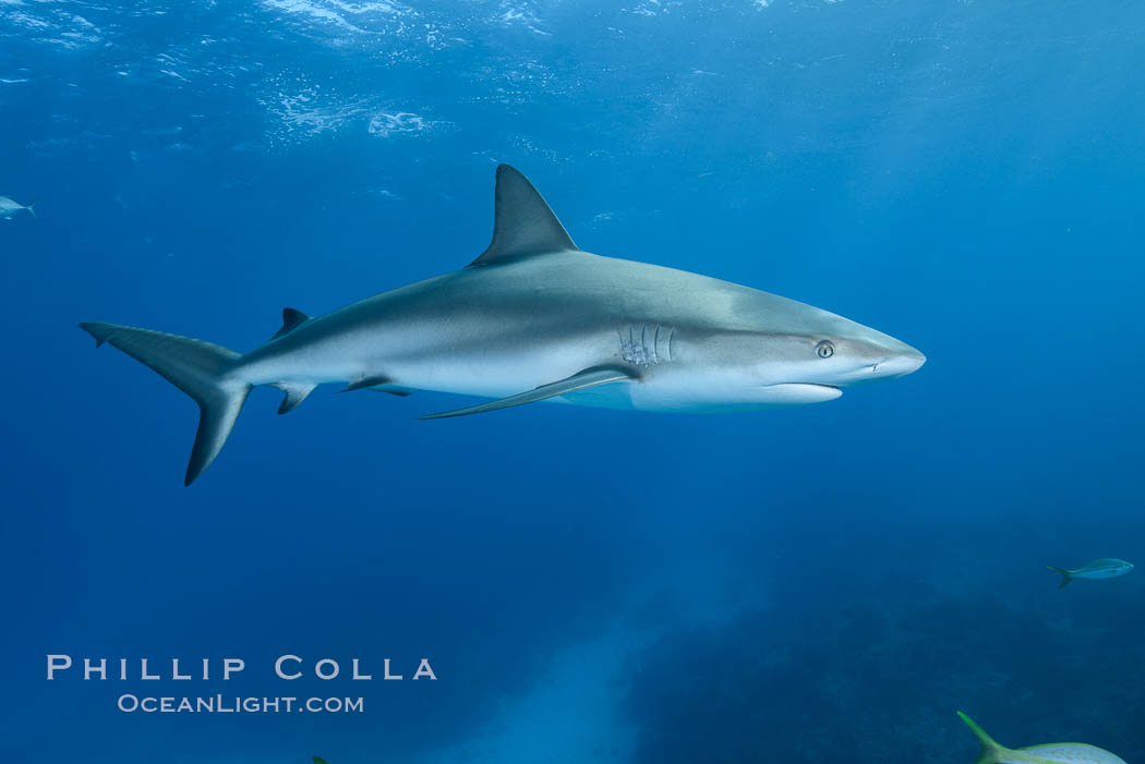 Caribbean reef shark. Bahamas, Carcharhinus perezi, natural history stock photograph, photo id 31995