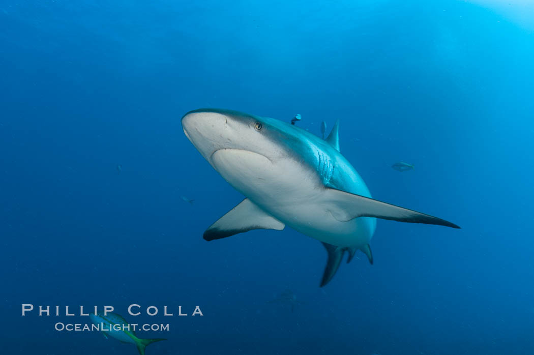 Caribbean reef shark. Bahamas, Carcharhinus perezi, natural history stock photograph, photo id 10549
