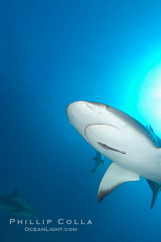 Caribbean reef shark with small sharksucker visible on underside. Bahamas, Carcharhinus perezi, Echeneis naucrates, natural history stock photograph, photo id 10561