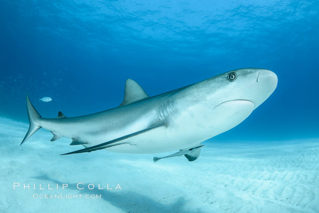 Caribbean reef shark. Bahamas, Carcharhinus perezi, natural history stock photograph, photo id 31977