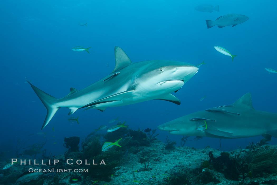 Caribbean reef shark. Bahamas, Carcharhinus perezi, natural history stock photograph, photo id 31985