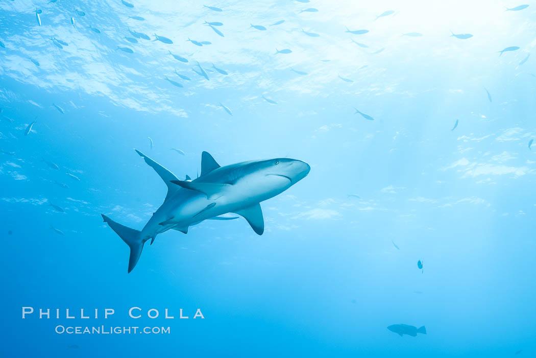 Caribbean reef shark. Bahamas, Carcharhinus perezi, natural history stock photograph, photo id 31993