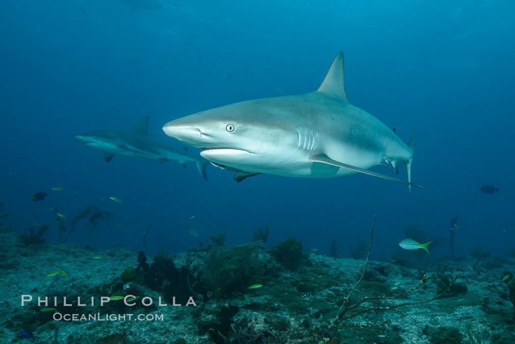 Caribbean reef shark. Bahamas, Carcharhinus perezi, natural history stock photograph, photo id 32001