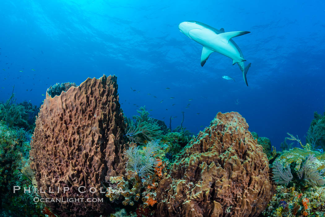 Caribbean reef shark swims over sponges and coral reef. Bahamas, Carcharhinus perezi, natural history stock photograph, photo id 32005