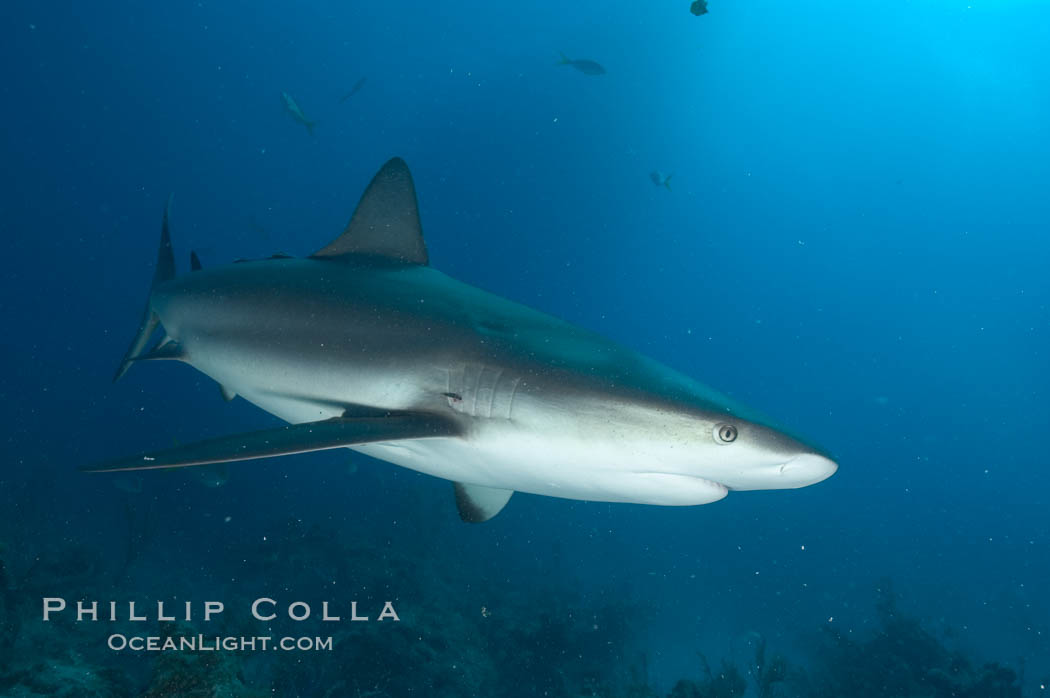 Caribbean reef shark. Bahamas, Carcharhinus perezi, natural history stock photograph, photo id 10616