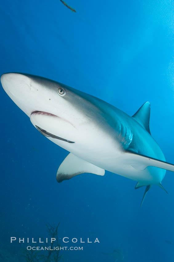 Caribbean reef shark with small sharksucker visible on underside. Bahamas, Carcharhinus perezi, Echeneis naucrates, natural history stock photograph, photo id 10617