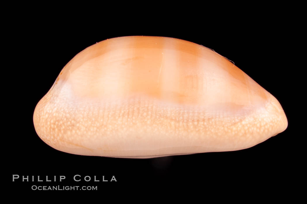 Carnelian Cowrie., Cypraea carneola crassa, natural history stock photograph, photo id 08003