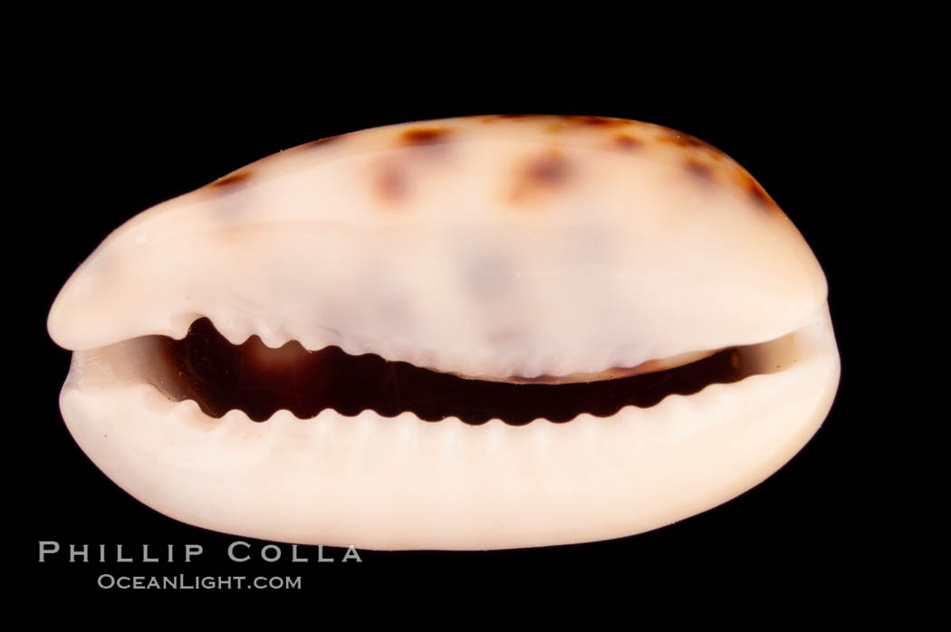 Cat Cowrie., Cypraea felina, natural history stock photograph, photo id 08134