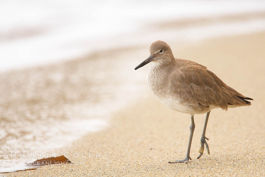 Willet on sand. La Jolla, California, USA, Catoptrophurus semipalmatus, natural history stock photograph, photo id 18424