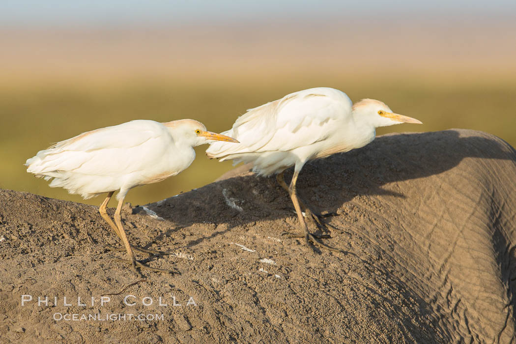 Cattle egrets on elephant. Amboseli National Park, Kenya, Bubulcus ibis, natural history stock photograph, photo id 29523